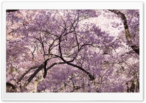 Pink Cherry Blossom Tree Japan HD Wide Wallpaper for Widescreen
