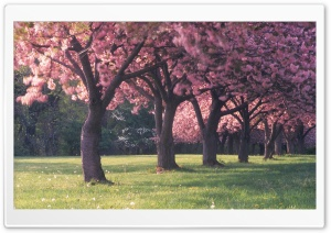 Pink Cherry Blossoms HD Wide Wallpaper for Widescreen