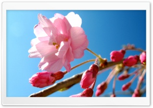 Pink Cherry Buds HD Wide Wallpaper for Widescreen