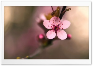 Pink Cherry Flower Macro HD Wide Wallpaper for Widescreen
