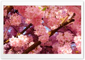 Pink Cherry Flowers HD Wide Wallpaper for Widescreen