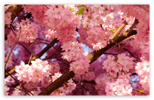 Pink Cherry Flowers ❤ 4K UHD Wallpaper for Wide 16:10 5:3 Widescreen WHXGA WQXGA WUXGA WXGA WGA ; 4K UHD 16:9 Ultra High Definition 2160p 1440p 1080p 900p 720p ; Standard 4:3 5:4 3:2 Fullscreen UXGA XGA SVGA QSXGA SXGA DVGA HVGA HQVGA ( Apple PowerBook G4 iPhone 4 3G 3GS iPod Touch ) ; Tablet 1:1 ; iPad 1/2/Mini ; Mobile 4:3 5:3 3:2 16:9 5:4 - UXGA XGA SVGA WGA DVGA HVGA HQVGA ( Apple PowerBook G4 iPhone 4 3G 3GS iPod Touch ) 2160p 1440p 1080p 900p 720p QSXGA SXGA ; Dual 16:10 5:3 16:9 4:3 5:4 WHXGA WQXGA WUXGA WXGA WGA 2160p 1440p 1080p 900p 720p UXGA XGA SVGA QSXGA SXGA ;