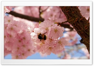 Pink Cherry Flowers, Spring HD Wide Wallpaper for Widescreen