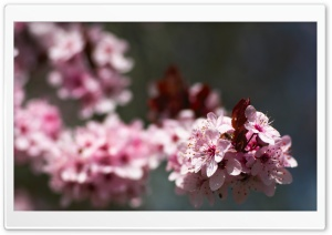 Pink Cherry Plum Blossoms HD Wide Wallpaper for Widescreen