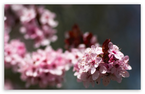 Pink Cherry Plum Blossoms ❤ 4K UHD Wallpaper for Wide 16:10 5:3 Widescreen WHXGA WQXGA WUXGA WXGA WGA ; 4K UHD 16:9 Ultra High Definition 2160p 1440p 1080p 900p 720p ; UHD 16:9 2160p 1440p 1080p 900p 720p ; Standard 4:3 5:4 3:2 Fullscreen UXGA XGA SVGA QSXGA SXGA DVGA HVGA HQVGA ( Apple PowerBook G4 iPhone 4 3G 3GS iPod Touch ) ; Tablet 1:1 ; iPad 1/2/Mini ; Mobile 4:3 5:3 3:2 16:9 5:4 - UXGA XGA SVGA WGA DVGA HVGA HQVGA ( Apple PowerBook G4 iPhone 4 3G 3GS iPod Touch ) 2160p 1440p 1080p 900p 720p QSXGA SXGA ; Dual 16:10 5:3 4:3 5:4 WHXGA WQXGA WUXGA WXGA WGA UXGA XGA SVGA QSXGA SXGA ;
