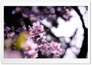 Pink Cherry Plum Flowers HD Wide Wallpaper for Widescreen