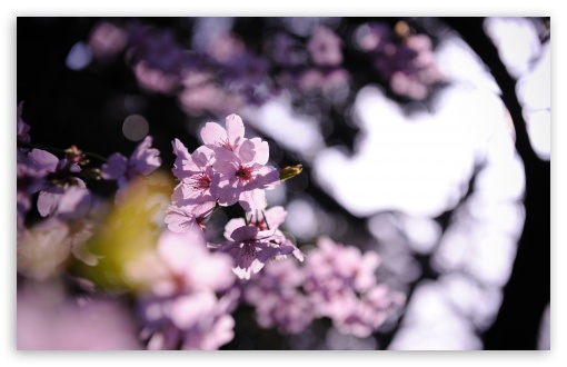 Pink Cherry Plum Flowers ❤ 4K UHD Wallpaper for Wide 16:10 5:3 Widescreen WHXGA WQXGA WUXGA WXGA WGA ; 4K UHD 16:9 Ultra High Definition 2160p 1440p 1080p 900p 720p ; UHD 16:9 2160p 1440p 1080p 900p 720p ; Standard 4:3 5:4 3:2 Fullscreen UXGA XGA SVGA QSXGA SXGA DVGA HVGA HQVGA ( Apple PowerBook G4 iPhone 4 3G 3GS iPod Touch ) ; Tablet 1:1 ; iPad 1/2/Mini ; Mobile 4:3 5:3 3:2 16:9 5:4 - UXGA XGA SVGA WGA DVGA HVGA HQVGA ( Apple PowerBook G4 iPhone 4 3G 3GS iPod Touch ) 2160p 1440p 1080p 900p 720p QSXGA SXGA ; Dual 16:10 5:3 4:3 5:4 WHXGA WQXGA WUXGA WXGA WGA UXGA XGA SVGA QSXGA SXGA ;