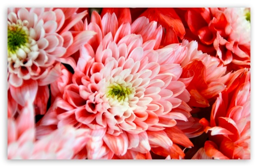 Pink Chrysanthemum ❤ 4K UHD Wallpaper for Wide 16:10 5:3 Widescreen WHXGA WQXGA WUXGA WXGA WGA ; 4K UHD 16:9 Ultra High Definition 2160p 1440p 1080p 900p 720p ; Standard 4:3 5:4 3:2 Fullscreen UXGA XGA SVGA QSXGA SXGA DVGA HVGA HQVGA ( Apple PowerBook G4 iPhone 4 3G 3GS iPod Touch ) ; Tablet 1:1 ; iPad 1/2/Mini ; Mobile 4:3 5:3 3:2 16:9 5:4 - UXGA XGA SVGA WGA DVGA HVGA HQVGA ( Apple PowerBook G4 iPhone 4 3G 3GS iPod Touch ) 2160p 1440p 1080p 900p 720p QSXGA SXGA ;