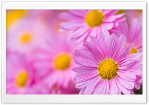 Pink Chrysanthemum HD Wide Wallpaper for Widescreen