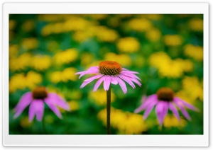Pink Coneflower HD Wide Wallpaper for Widescreen