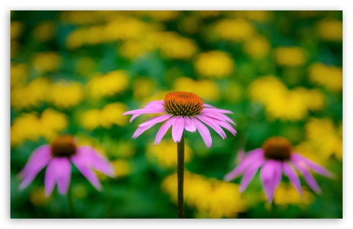Pink Coneflower ❤ 4K UHD Wallpaper for Wide 16:10 5:3 Widescreen WHXGA WQXGA WUXGA WXGA WGA ; UltraWide 21:9 24:10 ; 4K UHD 16:9 Ultra High Definition 2160p 1440p 1080p 900p 720p ; UHD 16:9 2160p 1440p 1080p 900p 720p ; Standard 4:3 5:4 3:2 Fullscreen UXGA XGA SVGA QSXGA SXGA DVGA HVGA HQVGA ( Apple PowerBook G4 iPhone 4 3G 3GS iPod Touch ) ; Smartphone 16:9 3:2 5:3 2160p 1440p 1080p 900p 720p DVGA HVGA HQVGA ( Apple PowerBook G4 iPhone 4 3G 3GS iPod Touch ) WGA ; Tablet 1:1 ; iPad 1/2/Mini ; Mobile 4:3 5:3 3:2 16:9 5:4 - UXGA XGA SVGA WGA DVGA HVGA HQVGA ( Apple PowerBook G4 iPhone 4 3G 3GS iPod Touch ) 2160p 1440p 1080p 900p 720p QSXGA SXGA ;