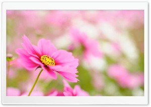 Pink Cosmos HD Wide Wallpaper for Widescreen