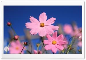 Pink Cosmos HD Wide Wallpaper for 4K UHD Widescreen desktop & smartphone
