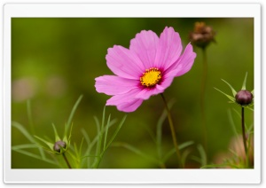 Pink Cosmos Flower HD Wide Wallpaper for 4K UHD Widescreen desktop & smartphone