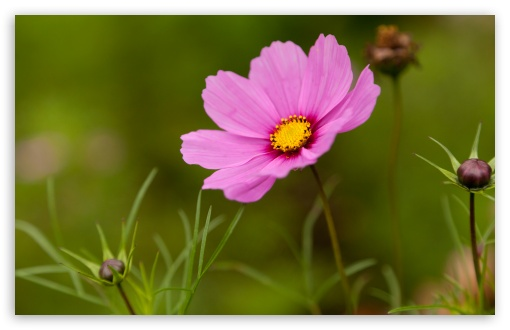 Pink Cosmos Flower HD wallpaper for Wide 16:10 5:3 Widescreen WHXGA WQXGA WUXGA WXGA WGA ; HD 16:9 High Definition WQHD QWXGA 1080p 900p 720p QHD nHD ; UHD 16:9 WQHD QWXGA 1080p 900p 720p QHD nHD ; Standard 4:3 5:4 3:2 Fullscreen UXGA XGA SVGA QSXGA SXGA DVGA HVGA HQVGA devices ( Apple PowerBook G4 iPhone 4 3G 3GS iPod Touch ) ; Tablet 1:1 ; iPad 1/2/Mini ; Mobile 4:3 5:3 3:2 16:9 5:4 - UXGA XGA SVGA WGA DVGA HVGA HQVGA devices ( Apple PowerBook G4 iPhone 4 3G 3GS iPod Touch ) WQHD QWXGA 1080p 900p 720p QHD nHD QSXGA SXGA ;