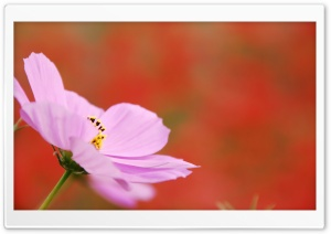 Pink Cosmos Flower Macro HD Wide Wallpaper for Widescreen
