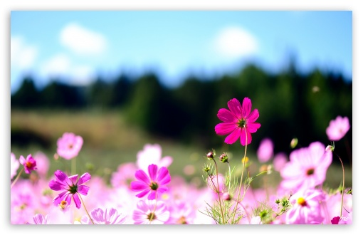 Pink Cosmos Flowers HD wallpaper for Wide 16:10 5:3 Widescreen WHXGA WQXGA WUXGA WXGA WGA ; HD 16:9 High Definition WQHD QWXGA 1080p 900p 720p QHD nHD ; Standard 4:3 5:4 3:2 Fullscreen UXGA XGA SVGA QSXGA SXGA DVGA HVGA HQVGA devices ( Apple PowerBook G4 iPhone 4 3G 3GS iPod Touch ) ; Tablet 1:1 ; iPad 1/2/Mini ; Mobile 4:3 5:3 3:2 16:9 5:4 - UXGA XGA SVGA WGA DVGA HVGA HQVGA devices ( Apple PowerBook G4 iPhone 4 3G 3GS iPod Touch ) WQHD QWXGA 1080p 900p 720p QHD nHD QSXGA SXGA ;