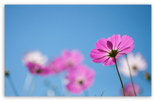Pink Cosmos Flowers ❤ 4K UHD Wallpaper for Wide 16:10 5:3 Widescreen WHXGA WQXGA WUXGA WXGA WGA ; 4K UHD 16:9 Ultra High Definition 2160p 1440p 1080p 900p 720p ; Standard 4:3 5:4 3:2 Fullscreen UXGA XGA SVGA QSXGA SXGA DVGA HVGA HQVGA ( Apple PowerBook G4 iPhone 4 3G 3GS iPod Touch ) ; Smartphone 5:3 WGA ; Tablet 1:1 ; iPad 1/2/Mini ; Mobile 4:3 5:3 3:2 16:9 5:4 - UXGA XGA SVGA WGA DVGA HVGA HQVGA ( Apple PowerBook G4 iPhone 4 3G 3GS iPod Touch ) 2160p 1440p 1080p 900p 720p QSXGA SXGA ;