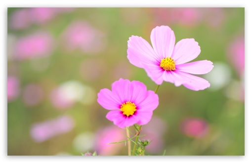 Pink Cosmos Flowers ❤ 4K UHD Wallpaper for Wide 16:10 5:3 Widescreen WHXGA WQXGA WUXGA WXGA WGA ; 4K UHD 16:9 Ultra High Definition 2160p 1440p 1080p 900p 720p ; UHD 16:9 2160p 1440p 1080p 900p 720p ; Standard 4:3 5:4 3:2 Fullscreen UXGA XGA SVGA QSXGA SXGA DVGA HVGA HQVGA ( Apple PowerBook G4 iPhone 4 3G 3GS iPod Touch ) ; Tablet 1:1 ; iPad 1/2/Mini ; Mobile 4:3 5:3 3:2 16:9 5:4 - UXGA XGA SVGA WGA DVGA HVGA HQVGA ( Apple PowerBook G4 iPhone 4 3G 3GS iPod Touch ) 2160p 1440p 1080p 900p 720p QSXGA SXGA ; Dual 16:10 5:3 16:9 4:3 5:4 WHXGA WQXGA WUXGA WXGA WGA 2160p 1440p 1080p 900p 720p UXGA XGA SVGA QSXGA SXGA ;
