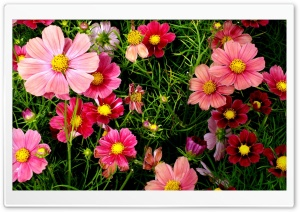 Pink Cosmos Flowers Ultra HD Wallpaper for 4K UHD Widescreen desktop, tablet & smartphone