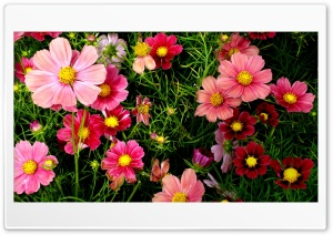 Pink Cosmos Flowers HD Wide Wallpaper for Widescreen