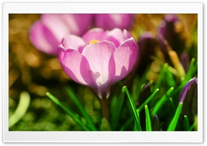 Pink Crocuses HD Wide Wallpaper for 4K UHD Widescreen desktop & smartphone