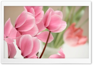 Pink Cyclamen Flowers HD Wide Wallpaper for Widescreen