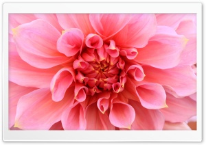 Pink Dahlia HD Wide Wallpaper for Widescreen