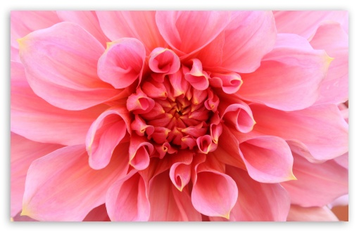 Pink Dahlia HD wallpaper for Wide 16:10 5:3 Widescreen WHXGA WQXGA WUXGA WXGA WGA ; HD 16:9 High Definition WQHD QWXGA 1080p 900p 720p QHD nHD ; UHD 16:9 WQHD QWXGA 1080p 900p 720p QHD nHD ; Standard 4:3 5:4 3:2 Fullscreen UXGA XGA SVGA QSXGA SXGA DVGA HVGA HQVGA devices ( Apple PowerBook G4 iPhone 4 3G 3GS iPod Touch ) ; iPad 1/2/Mini ; Mobile 4:3 5:3 3:2 16:9 5:4 - UXGA XGA SVGA WGA DVGA HVGA HQVGA devices ( Apple PowerBook G4 iPhone 4 3G 3GS iPod Touch ) WQHD QWXGA 1080p 900p 720p QHD nHD QSXGA SXGA ;