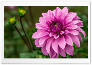 Pink Dahlia Ultra HD Wallpaper for 4K UHD Widescreen desktop, tablet & smartphone