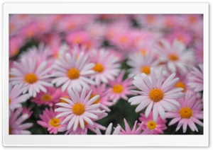 Pink Daisies HD Wide Wallpaper for Widescreen