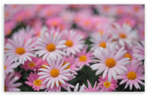Pink Daisies ❤ 4K UHD Wallpaper for Wide 16:10 5:3 Widescreen WHXGA WQXGA WUXGA WXGA WGA ; 4K UHD 16:9 Ultra High Definition 2160p 1440p 1080p 900p 720p ; UHD 16:9 2160p 1440p 1080p 900p 720p ; Standard 4:3 5:4 3:2 Fullscreen UXGA XGA SVGA QSXGA SXGA DVGA HVGA HQVGA ( Apple PowerBook G4 iPhone 4 3G 3GS iPod Touch ) ; Smartphone 5:3 WGA ; Tablet 1:1 ; iPad 1/2/Mini ; Mobile 4:3 5:3 3:2 16:9 5:4 - UXGA XGA SVGA WGA DVGA HVGA HQVGA ( Apple PowerBook G4 iPhone 4 3G 3GS iPod Touch ) 2160p 1440p 1080p 900p 720p QSXGA SXGA ;