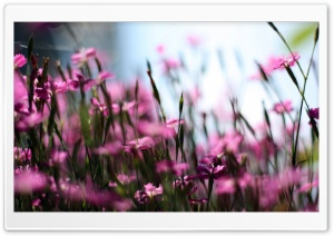 Pink Dianthus Field HD Wide Wallpaper for Widescreen