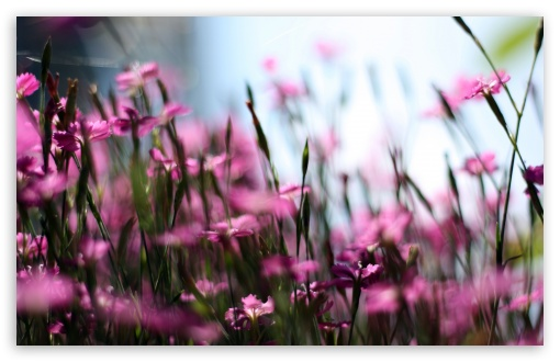 Pink Dianthus Field HD wallpaper for Wide 16:10 5:3 Widescreen WHXGA WQXGA WUXGA WXGA WGA ; HD 16:9 High Definition WQHD QWXGA 1080p 900p 720p QHD nHD ; UHD 16:9 WQHD QWXGA 1080p 900p 720p QHD nHD ; Standard 4:3 5:4 3:2 Fullscreen UXGA XGA SVGA QSXGA SXGA DVGA HVGA HQVGA devices ( Apple PowerBook G4 iPhone 4 3G 3GS iPod Touch ) ; Tablet 1:1 ; iPad 1/2/Mini ; Mobile 4:3 5:3 3:2 16:9 5:4 - UXGA XGA SVGA WGA DVGA HVGA HQVGA devices ( Apple PowerBook G4 iPhone 4 3G 3GS iPod Touch ) WQHD QWXGA 1080p 900p 720p QHD nHD QSXGA SXGA ; Dual 16:10 5:3 16:9 4:3 5:4 WHXGA WQXGA WUXGA WXGA WGA WQHD QWXGA 1080p 900p 720p QHD nHD UXGA XGA SVGA QSXGA SXGA ;