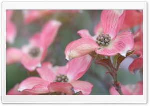 Pink Dogwood HD Wide Wallpaper for Widescreen
