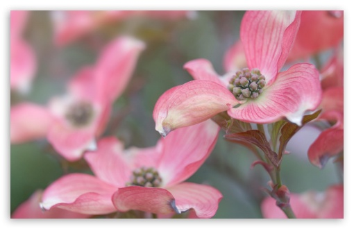 Pink Dogwood HD wallpaper for Wide 16:10 5:3 Widescreen WHXGA WQXGA WUXGA WXGA WGA ; Standard 4:3 5:4 3:2 Fullscreen UXGA XGA SVGA QSXGA SXGA DVGA HVGA HQVGA devices ( Apple PowerBook G4 iPhone 4 3G 3GS iPod Touch ) ; iPad 1/2/Mini ; Mobile 4:3 5:3 3:2 16:9 5:4 - UXGA XGA SVGA WGA DVGA HVGA HQVGA devices ( Apple PowerBook G4 iPhone 4 3G 3GS iPod Touch ) WQHD QWXGA 1080p 900p 720p QHD nHD QSXGA SXGA ;