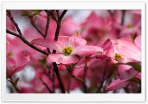 Pink Dogwood Flowers HD Wide Wallpaper for 4K UHD Widescreen desktop & smartphone