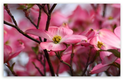 Pink Dogwood Flowers HD wallpaper for Wide 16:10 5:3 Widescreen WHXGA WQXGA WUXGA WXGA WGA ; HD 16:9 High Definition WQHD QWXGA 1080p 900p 720p QHD nHD ; UHD 16:9 WQHD QWXGA 1080p 900p 720p QHD nHD ; Standard 4:3 5:4 3:2 Fullscreen UXGA XGA SVGA QSXGA SXGA DVGA HVGA HQVGA devices ( Apple PowerBook G4 iPhone 4 3G 3GS iPod Touch ) ; Tablet 1:1 ; iPad 1/2/Mini ; Mobile 4:3 5:3 3:2 16:9 5:4 - UXGA XGA SVGA WGA DVGA HVGA HQVGA devices ( Apple PowerBook G4 iPhone 4 3G 3GS iPod Touch ) WQHD QWXGA 1080p 900p 720p QHD nHD QSXGA SXGA ; Dual 16:10 5:3 16:9 4:3 5:4 WHXGA WQXGA WUXGA WXGA WGA WQHD QWXGA 1080p 900p 720p QHD nHD UXGA XGA SVGA QSXGA SXGA ;