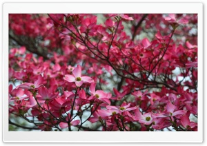 Pink Dogwood Tree Spring Bloom HD Wide Wallpaper for 4K UHD Widescreen desktop & smartphone