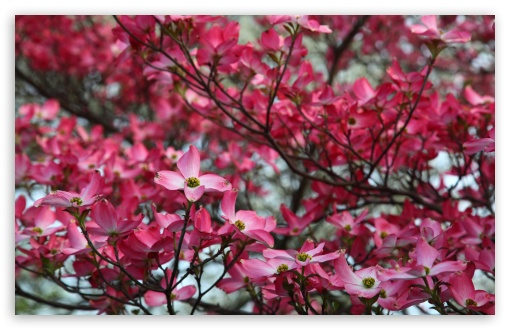 Pink Dogwood Tree Spring Bloom HD wallpaper for Wide 16:10 5:3 Widescreen WHXGA WQXGA WUXGA WXGA WGA ; HD 16:9 High Definition WQHD QWXGA 1080p 900p 720p QHD nHD ; Standard 4:3 5:4 3:2 Fullscreen UXGA XGA SVGA QSXGA SXGA DVGA HVGA HQVGA devices ( Apple PowerBook G4 iPhone 4 3G 3GS iPod Touch ) ; Tablet 1:1 ; iPad 1/2/Mini ; Mobile 4:3 5:3 3:2 16:9 5:4 - UXGA XGA SVGA WGA DVGA HVGA HQVGA devices ( Apple PowerBook G4 iPhone 4 3G 3GS iPod Touch ) WQHD QWXGA 1080p 900p 720p QHD nHD QSXGA SXGA ; Dual 16:10 5:3 16:9 4:3 5:4 WHXGA WQXGA WUXGA WXGA WGA WQHD QWXGA 1080p 900p 720p QHD nHD UXGA XGA SVGA QSXGA SXGA ;