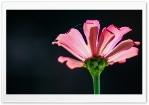 Pink Flower HD Wide Wallpaper for Widescreen