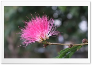 Pink Flower HD Wide Wallpaper for 4K UHD Widescreen desktop & smartphone