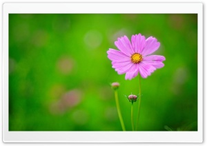 Pink Flower, Green Background HD Wide Wallpaper for 4K UHD Widescreen desktop & smartphone