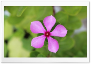 Pink Flower, Green Background HD Wide Wallpaper for Widescreen