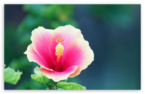 Pink Flower Macro HD wallpaper for Wide 16:10 5:3 Widescreen WHXGA WQXGA WUXGA WXGA WGA ; HD 16:9 High Definition WQHD QWXGA 1080p 900p 720p QHD nHD ; Standard 4:3 5:4 3:2 Fullscreen UXGA XGA SVGA QSXGA SXGA DVGA HVGA HQVGA devices ( Apple PowerBook G4 iPhone 4 3G 3GS iPod Touch ) ; Tablet 1:1 ; iPad 1/2/Mini ; Mobile 4:3 5:3 3:2 16:9 5:4 - UXGA XGA SVGA WGA DVGA HVGA HQVGA devices ( Apple PowerBook G4 iPhone 4 3G 3GS iPod Touch ) WQHD QWXGA 1080p 900p 720p QHD nHD QSXGA SXGA ;