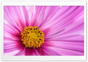 Pink Flower Macro HD Wide Wallpaper for Widescreen