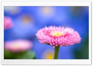 Pink Flower Macro, Blue Unfocused Background HD Wide Wallpaper for Widescreen