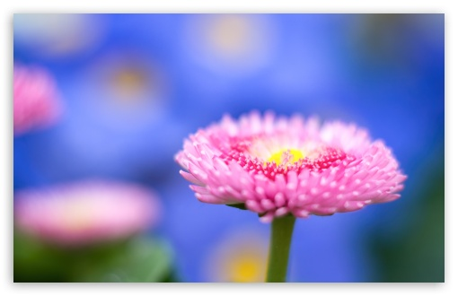 Pink Flower Macro, Blue Unfocused Background ❤ 4K UHD Wallpaper for Wide 16:10 5:3 Widescreen WHXGA WQXGA WUXGA WXGA WGA ; 4K UHD 16:9 Ultra High Definition 2160p 1440p 1080p 900p 720p ; Standard 4:3 5:4 3:2 Fullscreen UXGA XGA SVGA QSXGA SXGA DVGA HVGA HQVGA ( Apple PowerBook G4 iPhone 4 3G 3GS iPod Touch ) ; Smartphone 16:9 3:2 5:3 2160p 1440p 1080p 900p 720p DVGA HVGA HQVGA ( Apple PowerBook G4 iPhone 4 3G 3GS iPod Touch ) WGA ; Tablet 1:1 ; iPad 1/2/Mini ; Mobile 4:3 5:3 3:2 16:9 5:4 - UXGA XGA SVGA WGA DVGA HVGA HQVGA ( Apple PowerBook G4 iPhone 4 3G 3GS iPod Touch ) 2160p 1440p 1080p 900p 720p QSXGA SXGA ;
