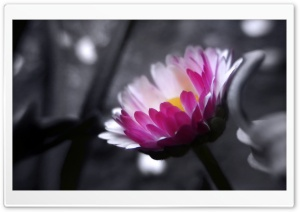Pink Flower On Black And White Background HD Wide Wallpaper for Widescreen