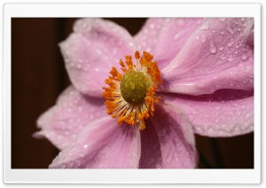 Pink Flower With Water Droplets HD Wide Wallpaper for Widescreen